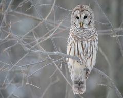 Tapeta owl-in-a-tree.jpg