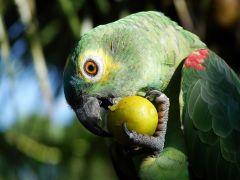 Tapeta eating-fruit.jpg