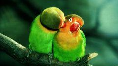 Tapeta parrots.jpg
