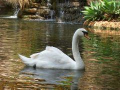 Tapeta swan-2.jpg