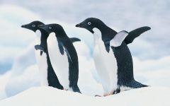 Tapeta three-penguins.jpg